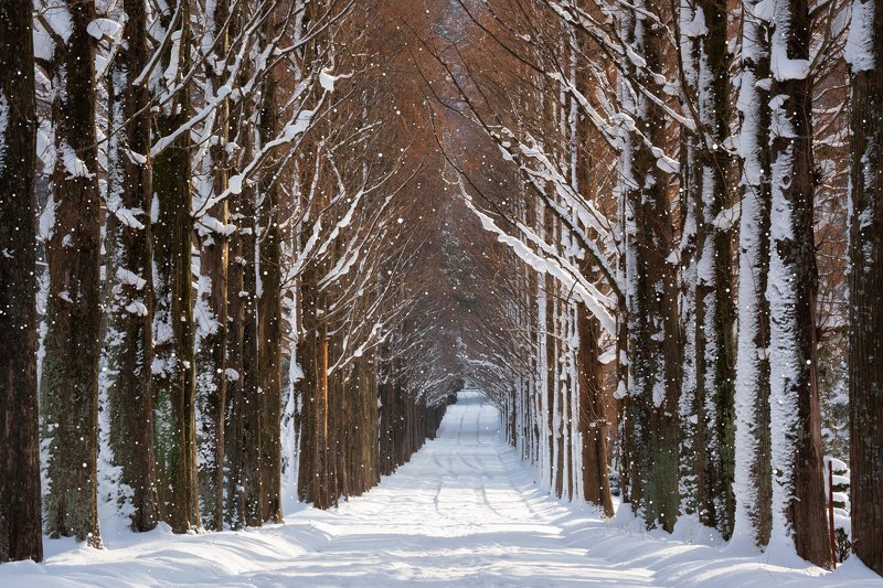 winter, snow,forest,trees Winter in Naju metasequoire roadphoto preview