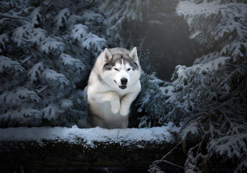 хаски охота снежный лес зима снег прыжок серебряный волк  Охотаphoto preview
