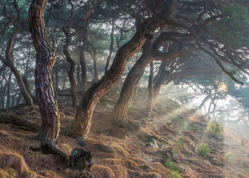 forest, winter, place, korea, trees, pine Sacred Pine Treesphoto preview