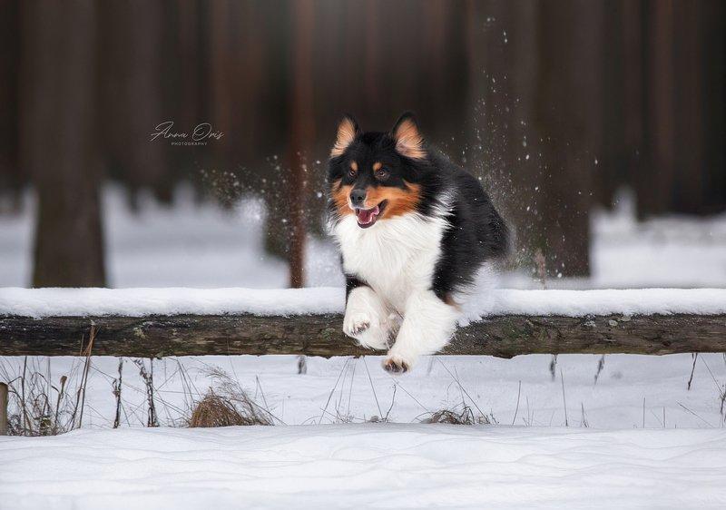 аусси австралийская овчарка зима игры прыжки  Красивый Джетphoto preview