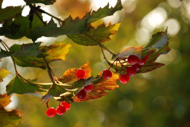 осень, калина, ягода Калина такаяphoto preview