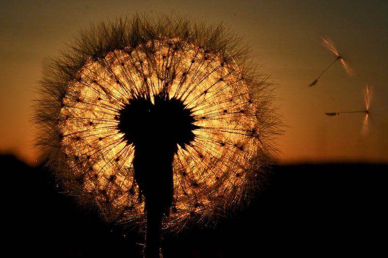 одуванчик, мечтающий стать солнцемphoto preview