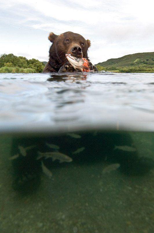 медведь, bear, горшков, gorshkov 50/50photo preview