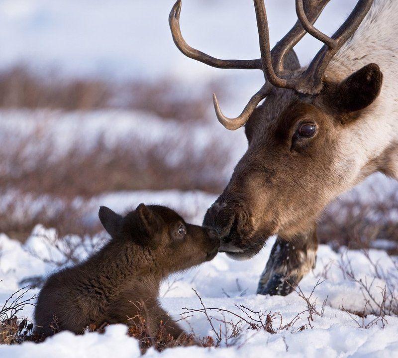 северный, олень, горшков, gorshkov Материнствоphoto preview