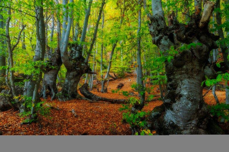 Безмолвные стражи букового лесаphoto preview