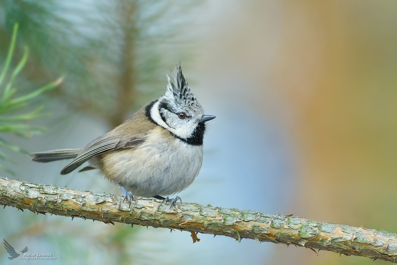 birds, nature, animals, wildlife, little, winter, forest, nikon, lubuskie, poland Czubatka, Crested Tit (Lophophanes cristatus) ...photo preview