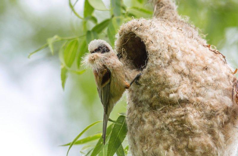 птица ремез гнездо Архитекторphoto preview