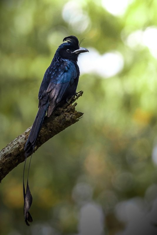 Greater Racket tailed Drongo © Paul Pinak