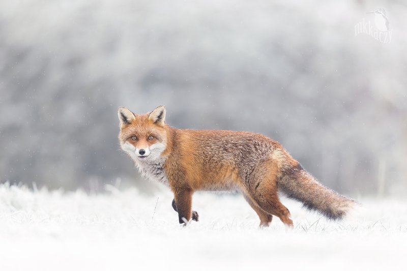 Snowy foxphoto preview