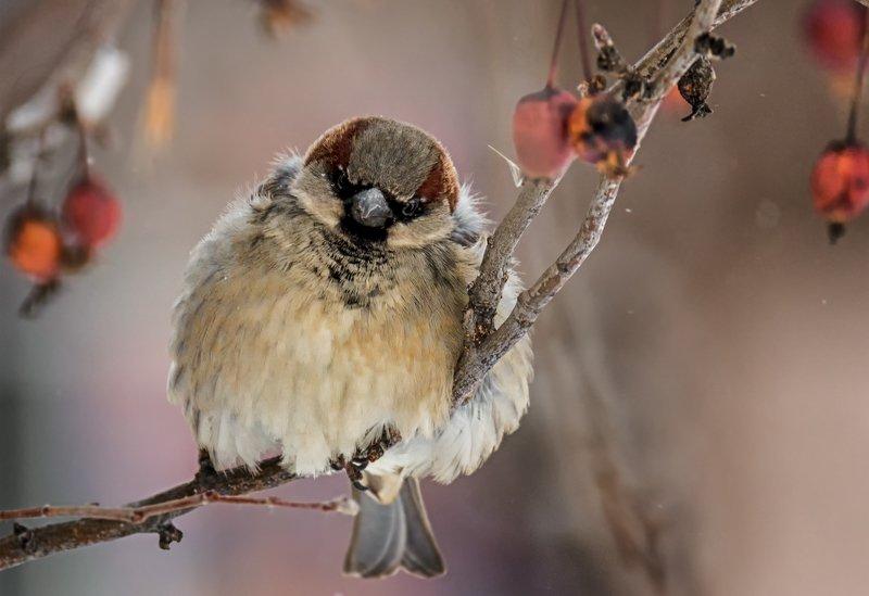 воробушек, зима, холода, любимые городские птахи, холода!photo preview