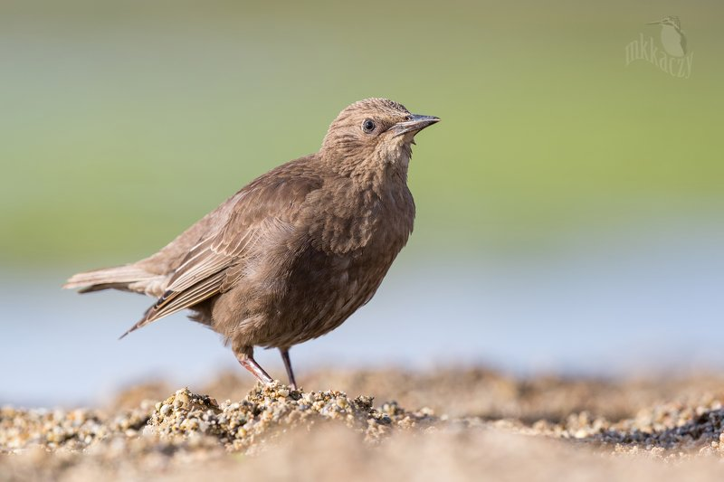 Yound starling photo preview