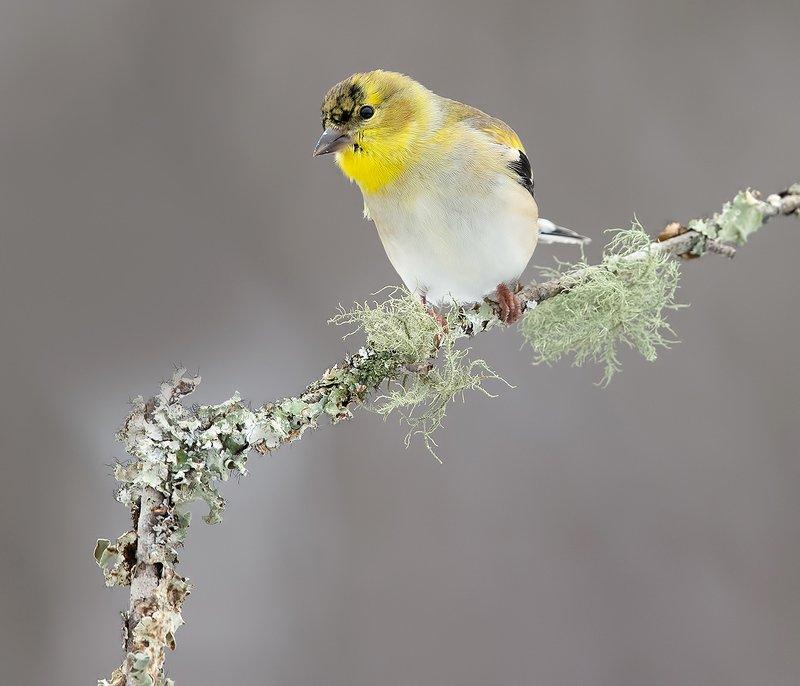 American Goldfinch - Американский чиж © Etkind Elizabeth
