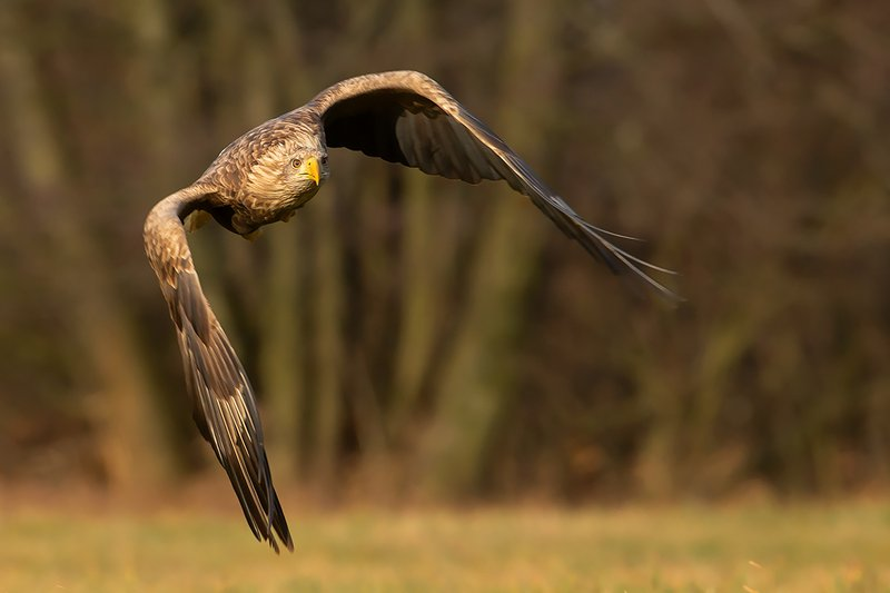bird, wild,animals ,poland Орлан-белохвостphoto preview
