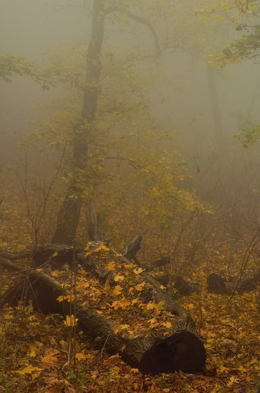 осень листва утро лес туман Туманное утроphoto preview