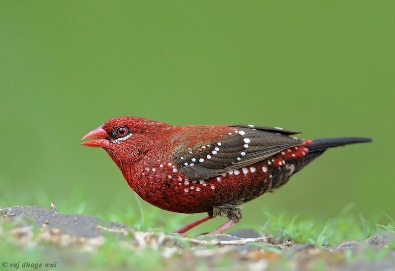 Red Avadavat, male (red munya)photo preview