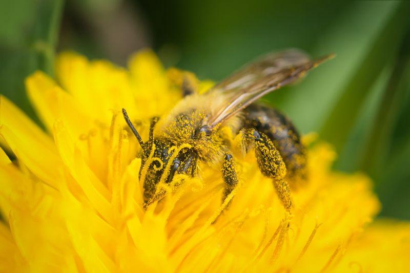 Майская пчела