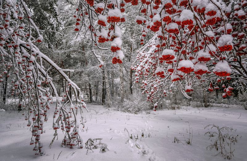 новосибирская область,ноябрь,рябины,снег Гроздья зимних рябин...photo preview
