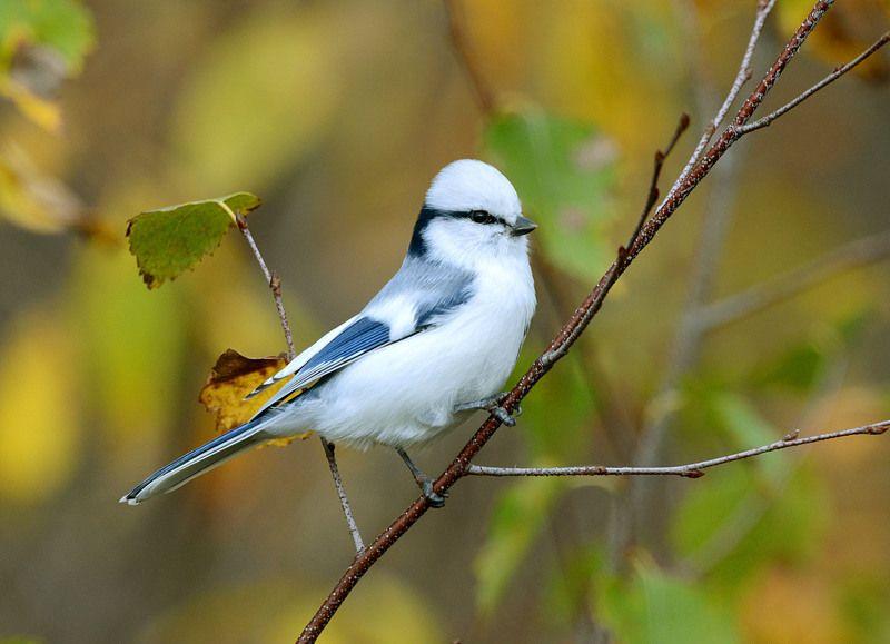 Осенняя белая лазоревка. © Белоусов Михаил