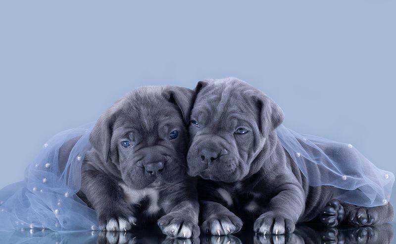 щенки puppies cane corso кане корсо милота красавчики мимими Сладули лимпапулиphoto preview