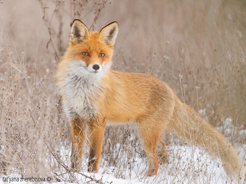 fox, my-mriya, mymriya, wildlife, Рыжая воровка!photo preview