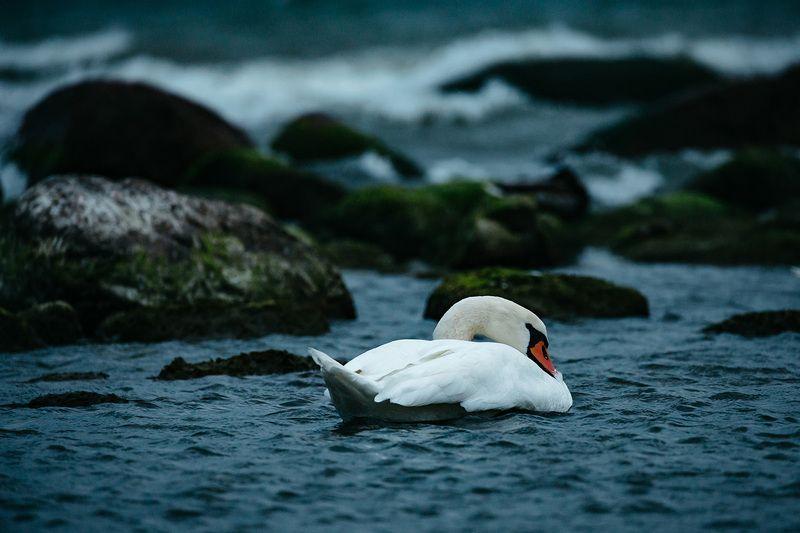 калининград, лебедь, балтика, животные россии Лебедь Балтики photo preview