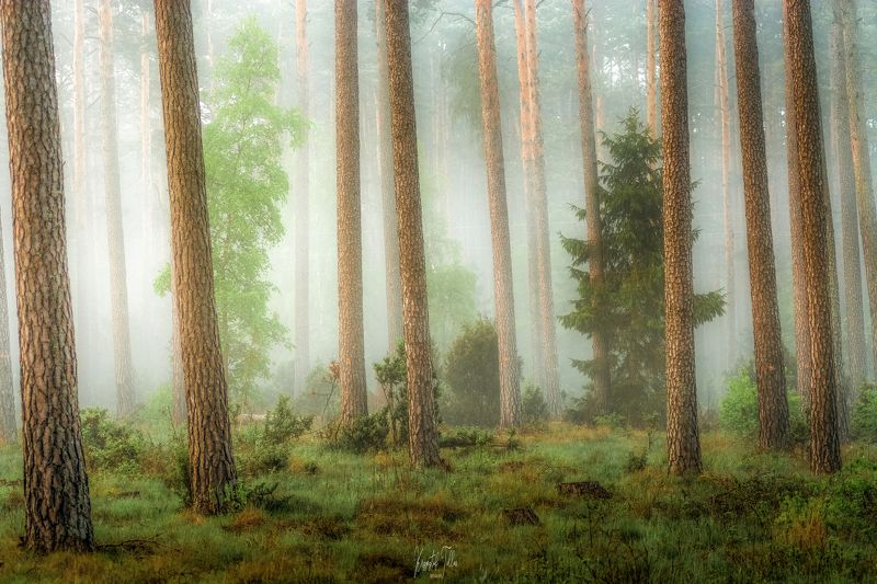 Nature  Forest  Fog  Photography  Woodland  Peaceful Scene  Beauty of nature  Trees  Dawn  Atmosphere  Nikon  Light Atmosfera lasuphoto preview
