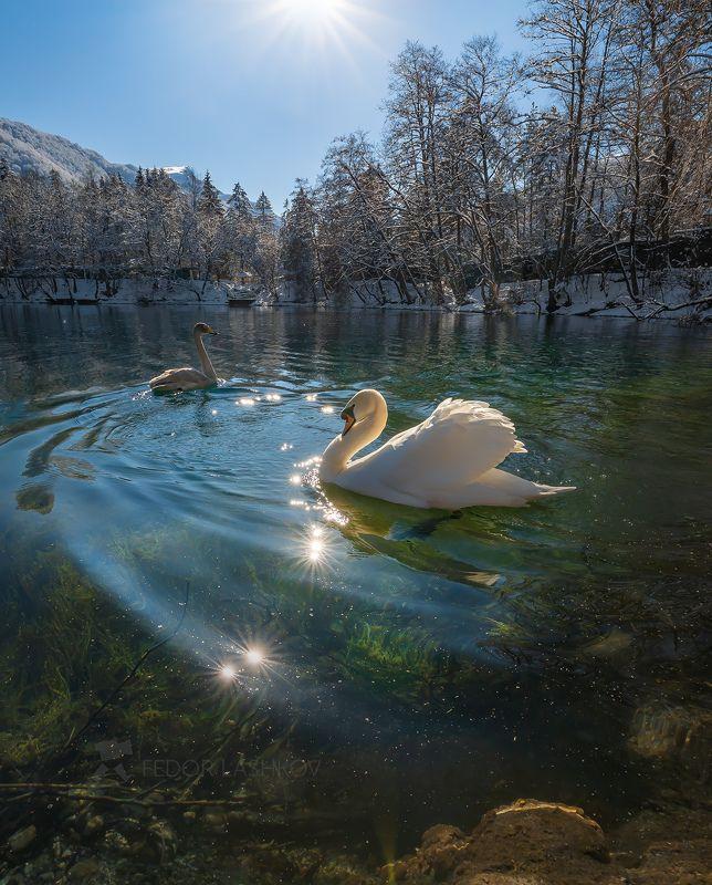 кабардино‑балкарская республика, лебедь, лебеди, птица, фауна, голубое озеро, зима, солнце, солнечно, на воде, водоём, Лебеди на Голубом озереphoto preview