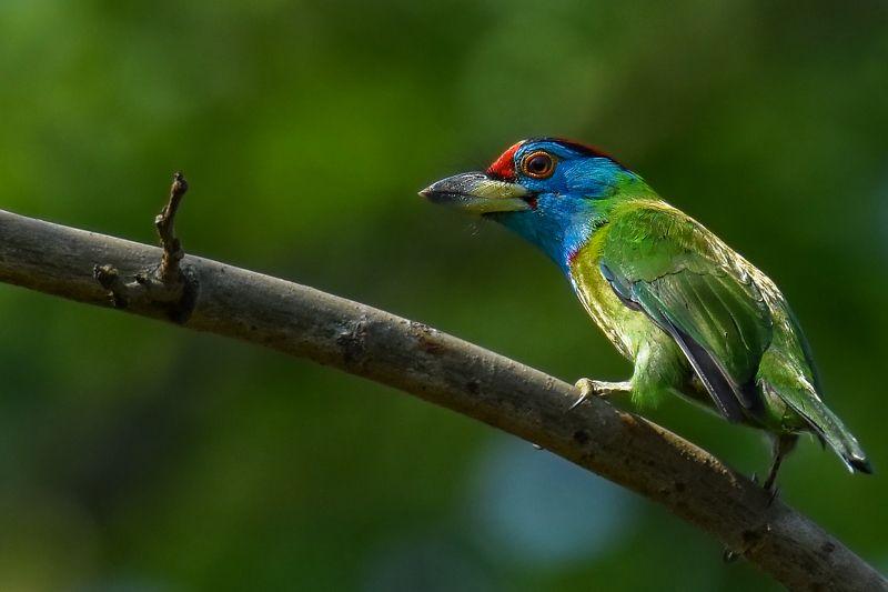 Blue Throated Barbet © Paul Pinak