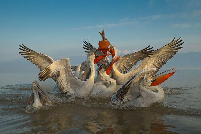 bird, wild,animals Кудрявый пеликанphoto preview