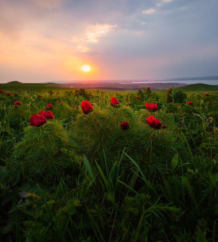 ставропольский край, открывая ставрополье, путешествие, природа, степь, трава, луг, флора, закат, пион, воронец, пион узколистный, солнце, красный, воронец, ставропольская возвышенность, холм, гора, Запах весенней степиphoto preview