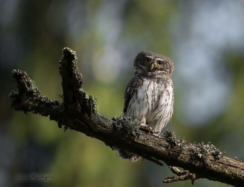 сыч-воробей, сова, воробьиный сыч, сова пигмея, eurasian pygmy-owl, дремучий лес Чаво?photo preview
