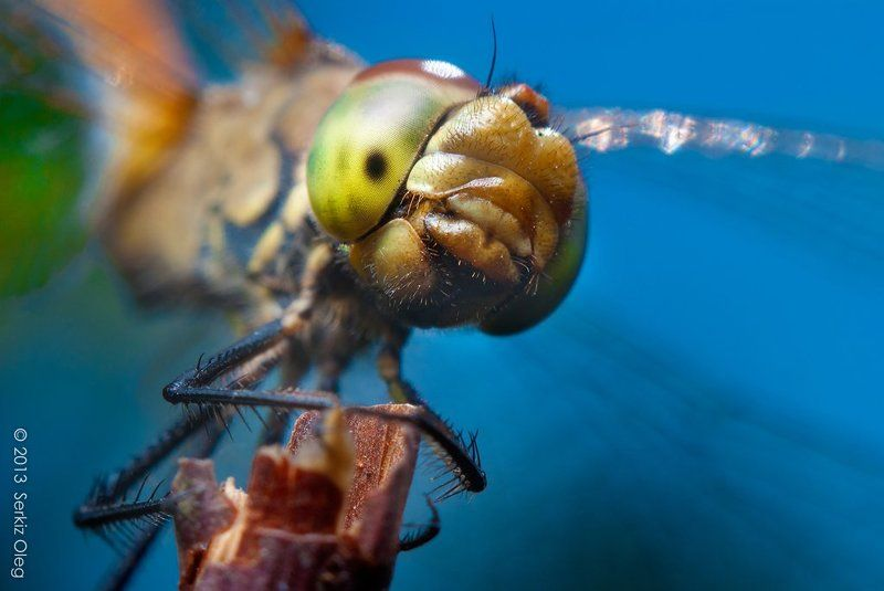 Sympetrum dragonfyphoto preview