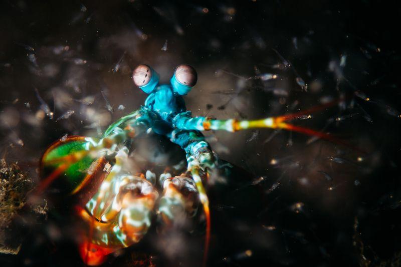 богомол, креветка, макро, подводный мир охотаphoto preview