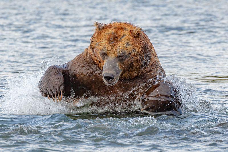 Камчатка, медведь, животные, природа, путешествие, фототур,  Бросокphoto preview