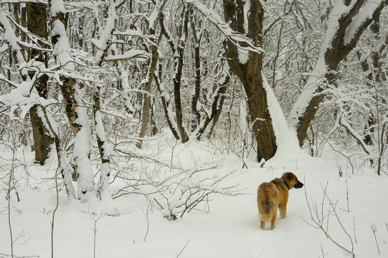 зима лес утро снег собака В зимнем лесуphoto preview