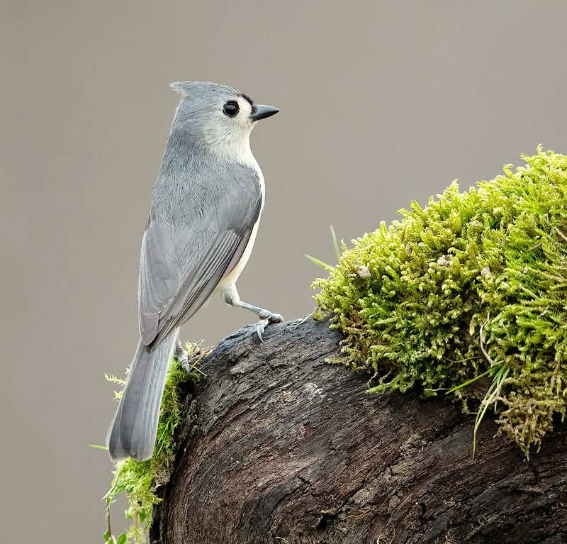 tufted titmouse, острохохлая синица,  синица,  titmouse, Tufted Titmouse -Острохохлая синицаphoto preview