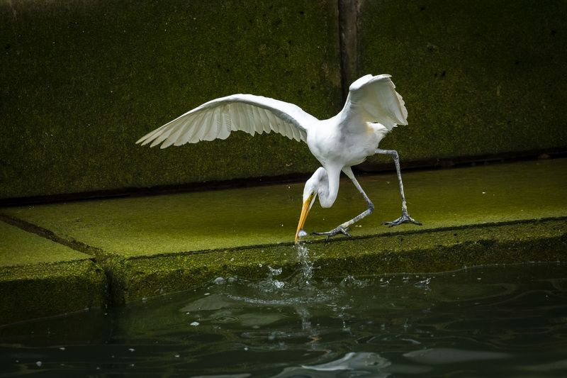 #bird #hunting #water #egret #aim #perfection  Perfectionphoto preview