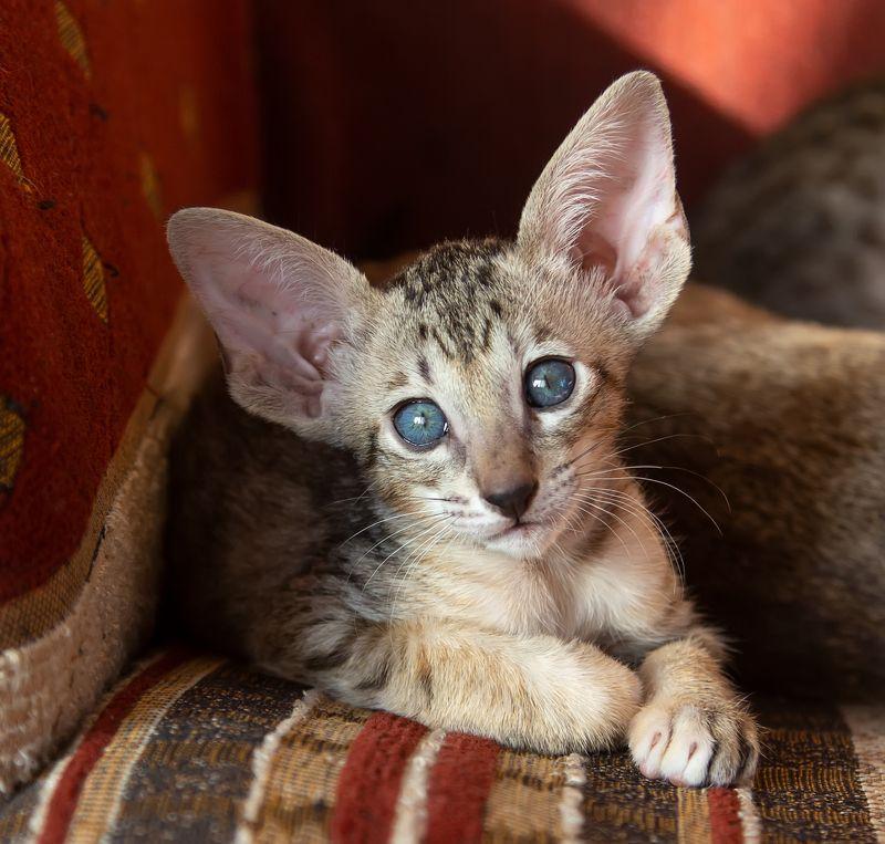 кот, котенок, ориентал Голубые глазки.... фото превью