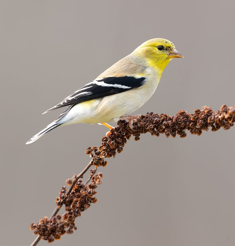 american goldfinch, американский чиж, чиж American Goldfinch -Американский чижphoto preview