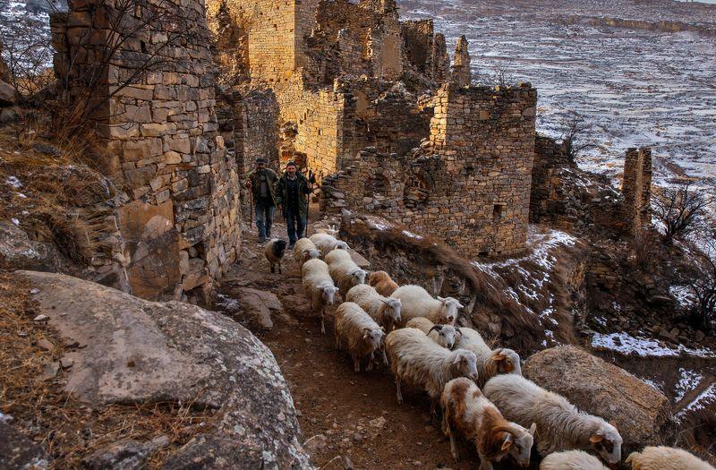 овцы,пастух,развалини,горы,вершины,пейзаж,небо,деревья,дагестан,природа Утром на выпас..photo preview