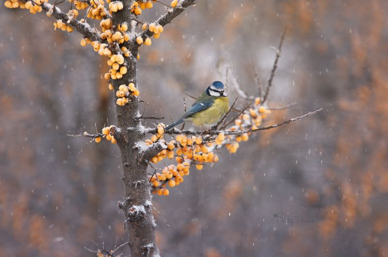 природа, лес, поля, огороды, животные, птицы, макро Облепиховое королевствоphoto preview