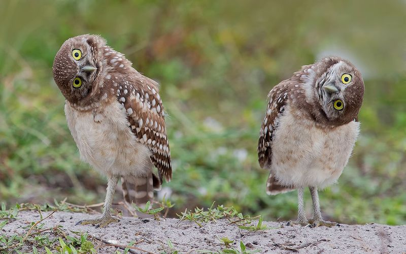 кроличий сыч, florida,burrowing owl, owl, флорида,сыч Cычики - Burrowing Owlsphoto preview