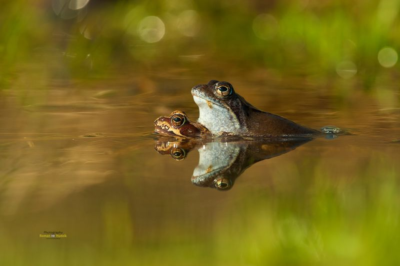 Frog, nature, animal, water, Frogs play around.photo preview