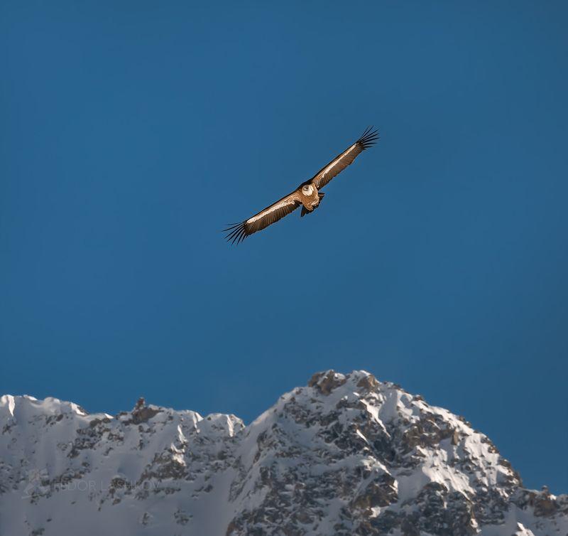 кавказ, кавказские горы, белоголовый сип, птица, дикое животное, природа, фауна, кабардино‑балкария, в горах, В синеве небаphoto preview