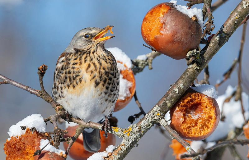 птица дрозд рябинник Я...Я...Яблоки ела...photo preview