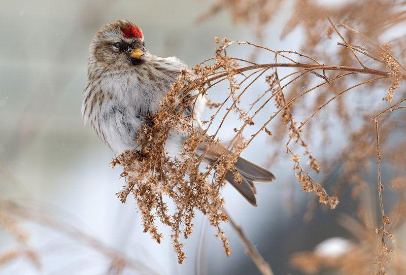 птица чечётка Чечёточкаphoto preview