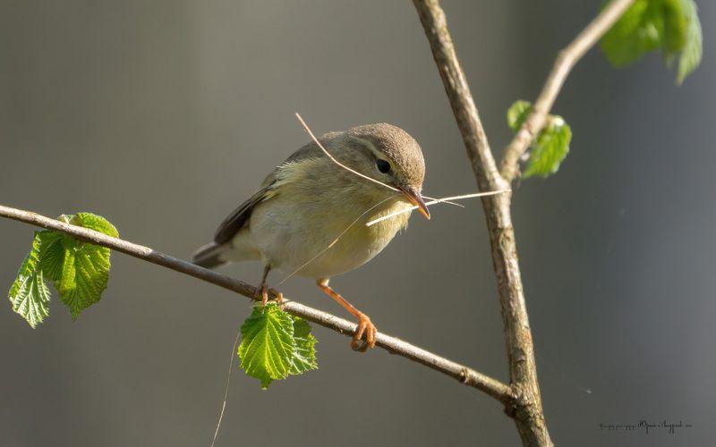 пеночка- весничка,willow warbler, гнездо, строительный материал Пеночка- весничкаphoto preview