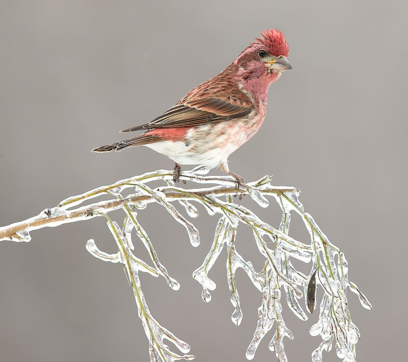 purple finch, пурпурная чечевица, чечевица Purple finch male - Пурпурная чечевицаphoto preview