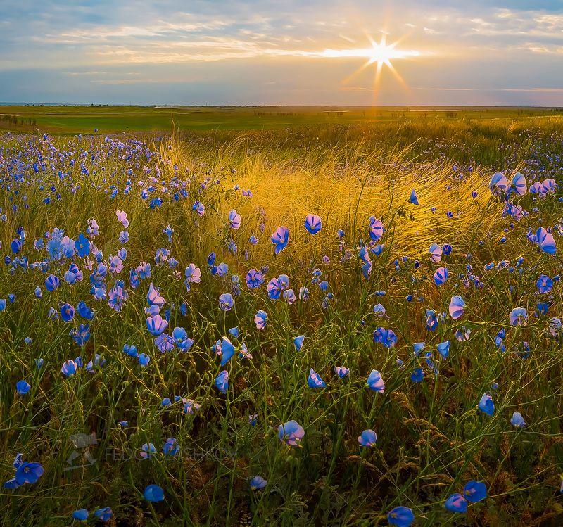 Ставропольский край, Ставрополье, поле, лён австралийский, цветы, синий, лён, степь, ковыль, рассвет, солнце, в лучах, степное,  Тепло весны на рассветеphoto preview
