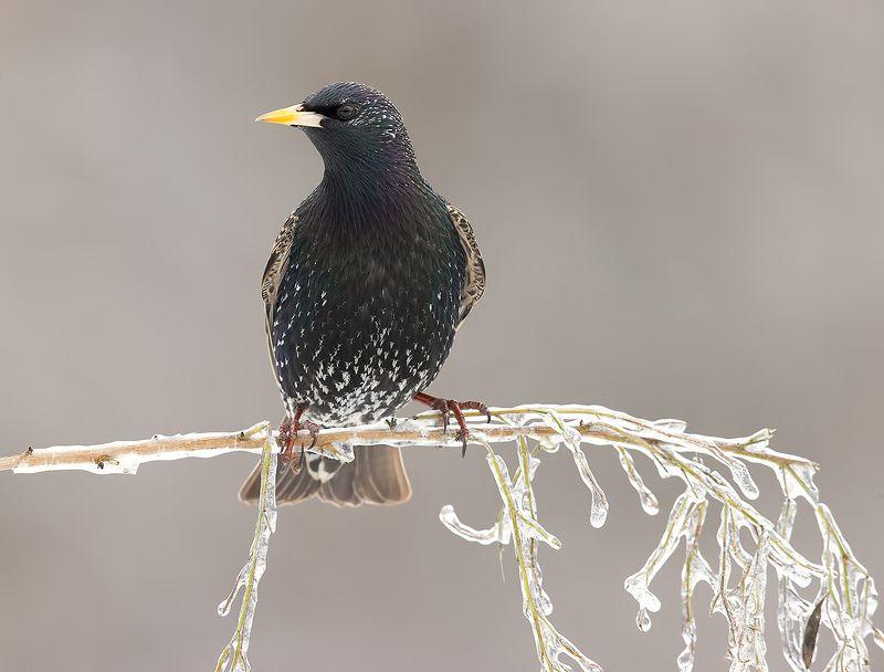 European Starling. Обыкновенный скворец